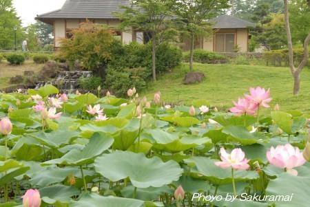 大賀蓮の池