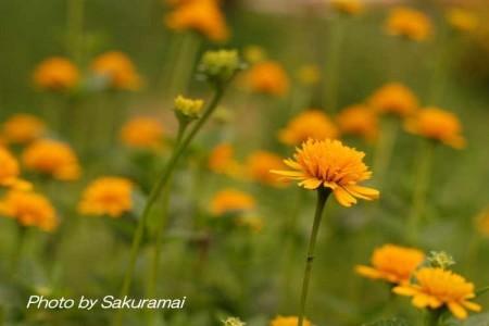 オレンジの花畑