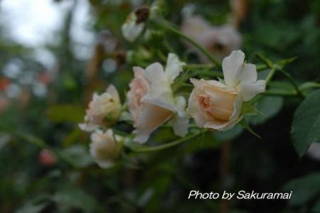 雨に濡れた白いバラ