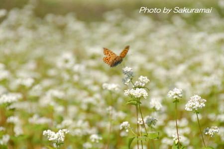 蕎麦畑から飛び立つ蝶