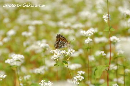 蕎麦畑に止まる蝶