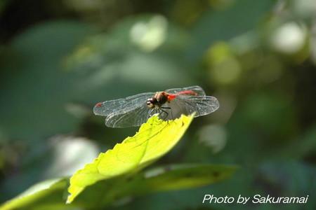 湖畔の蜻蛉