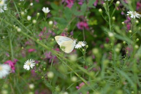 白い花にモンシロ蝶かなぁ?