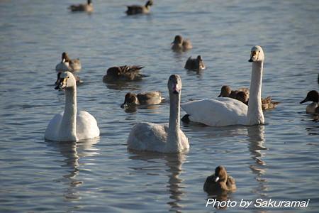 川辺の白鳥