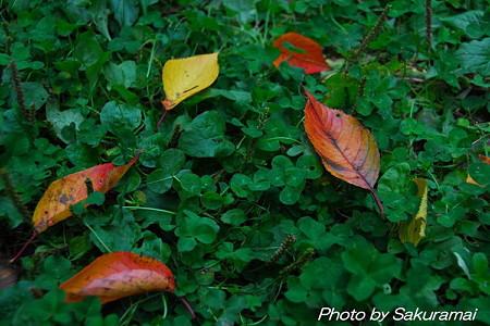 クローバーに落ち葉
