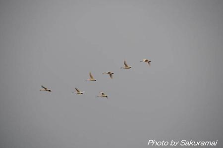 白鳥の飛来