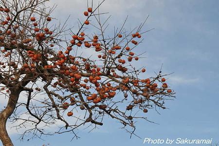 冬の青空に柿の実