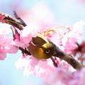 写真: 桜メジロ(1)FK3A8553