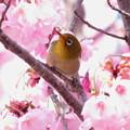 写真: 桜メジロ(5)IMG_1848 by ふうさん