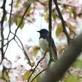 オオルリ♂(1)桜の木に 044A2379