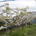 梨の果樹園 IMG_2126