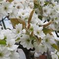 梨の花 IMG_2128