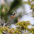 ジョウビタキ(1)♂ 桜の木に FK3A9786 by ふうさん