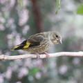 Photos: カワラヒワ幼鳥(3)FK3A0290