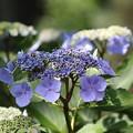 紫陽花(1)FK3A1732