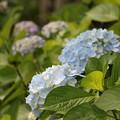 紫陽花(2)FK3A1776