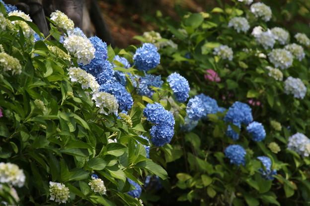 紫陽花(3)FK3A1780
