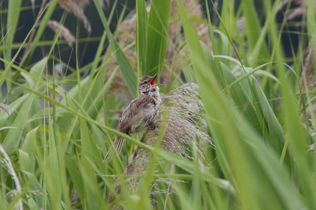 オオヨシキリ(4)成鳥 FK3A2459