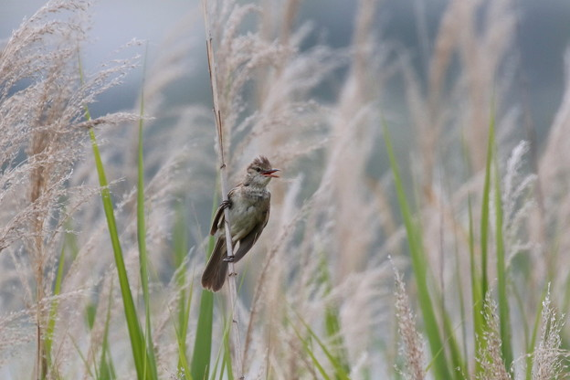 オオヨシキリ(5)成鳥FK3A2342