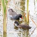 バン(2)幼鳥+親鳥 FK3A2425