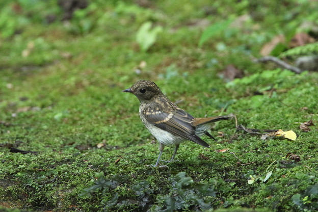 キビタキ(1)幼鳥 044A6813