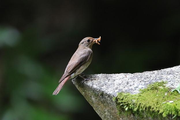 キビタキ(6)親鳥♀ 044A6738