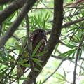 アオバズク(4)親鳥♂ FK3A3611