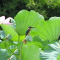 蓮とカワセミ(1)IMG_2925 by ふうさん