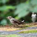 オオルリ(4)親鳥♀+幼鳥 044A8310