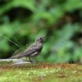 オオルリ(3)幼鳥 044A8277