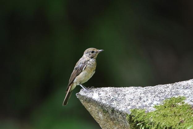 オオルリ幼鳥♀(4)044A8475