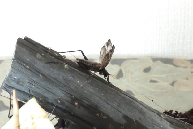 鈴虫(4)成虫 17-25mm 今日8月3日 IMG_2960