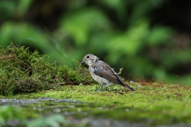 オオルリ幼鳥(3)044A8596