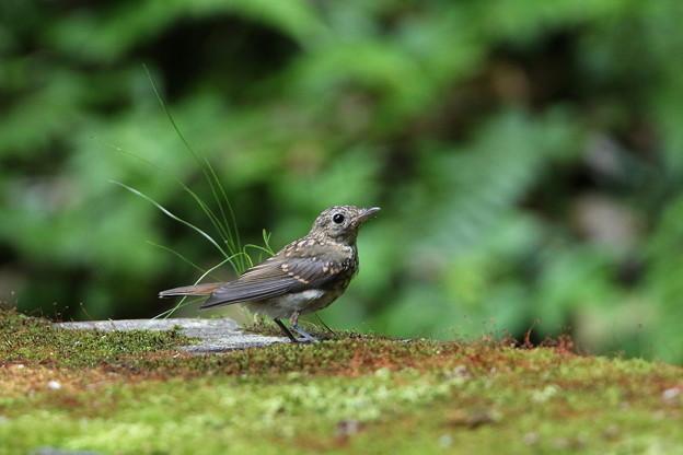 キビタキ幼鳥(2)044A8274