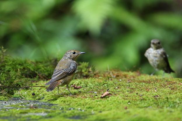 キビタキ幼鳥(3)044A8679