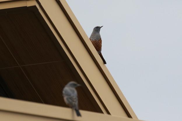 イソヒヨドリ(1)幼鳥♂2羽 FK3A4531