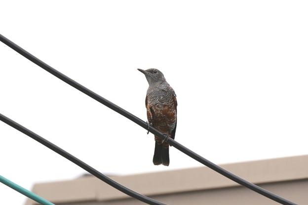 イソヒヨドリ(4)幼鳥♂ FK3A4559