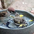 カワラヒワ幼鳥「お母さんじゃない!!」IMG_6335