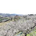 写真: 南部梅林(4)IMG_4607 by ふうさん