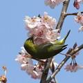 写真: 桜メジロ(5)FK3A2004 by ふうさん