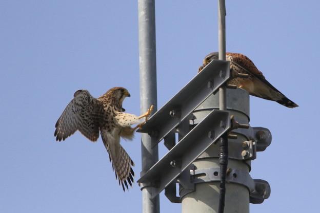 Photos: 1.雌が巣穴から飛び出しエサの受け渡し(♂→♀)044A0467