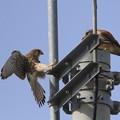 写真: 1.雌が巣穴から飛び出しエサの受け渡し(♂→♀)044A0467