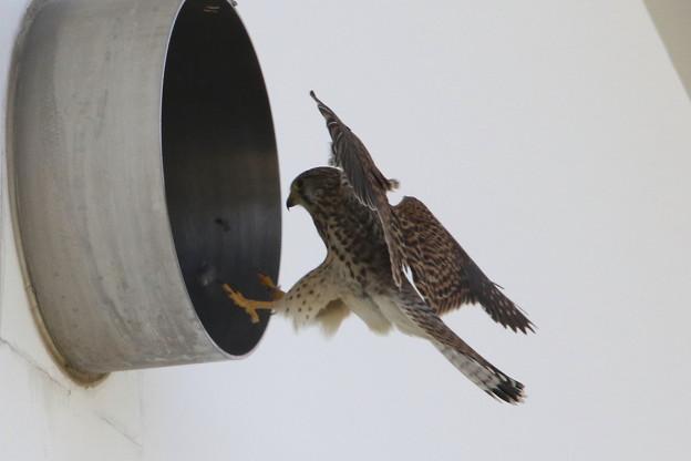 写真: 6.雌は抱卵のため巣穴へ 044A0554
