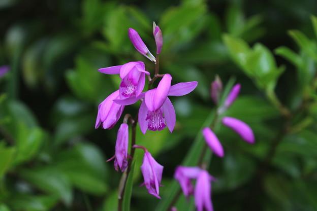 シラン(紫紅色)FK3A5729