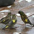 写真: カワラヒワ給餌(1)FK3A5762