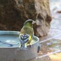写真: カワラヒワ親鳥 FK3A5689