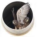写真: 1.チョウゲンボウ幼鳥(巣立ちが近い3・4番子)044A2530