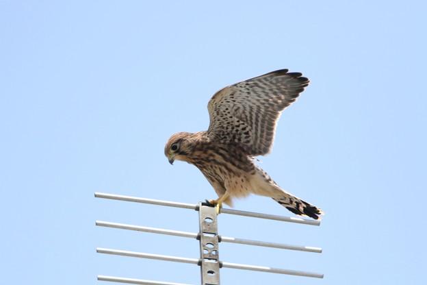 写真: 5.チョウゲンボウ幼鳥(巣だった2番子)044A2600