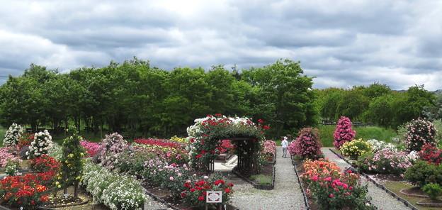 リサイクル環境公園バラ園 IMG_5539 by ふうさん