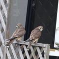写真: チョウゲンボウ幼鳥(5)044A3094